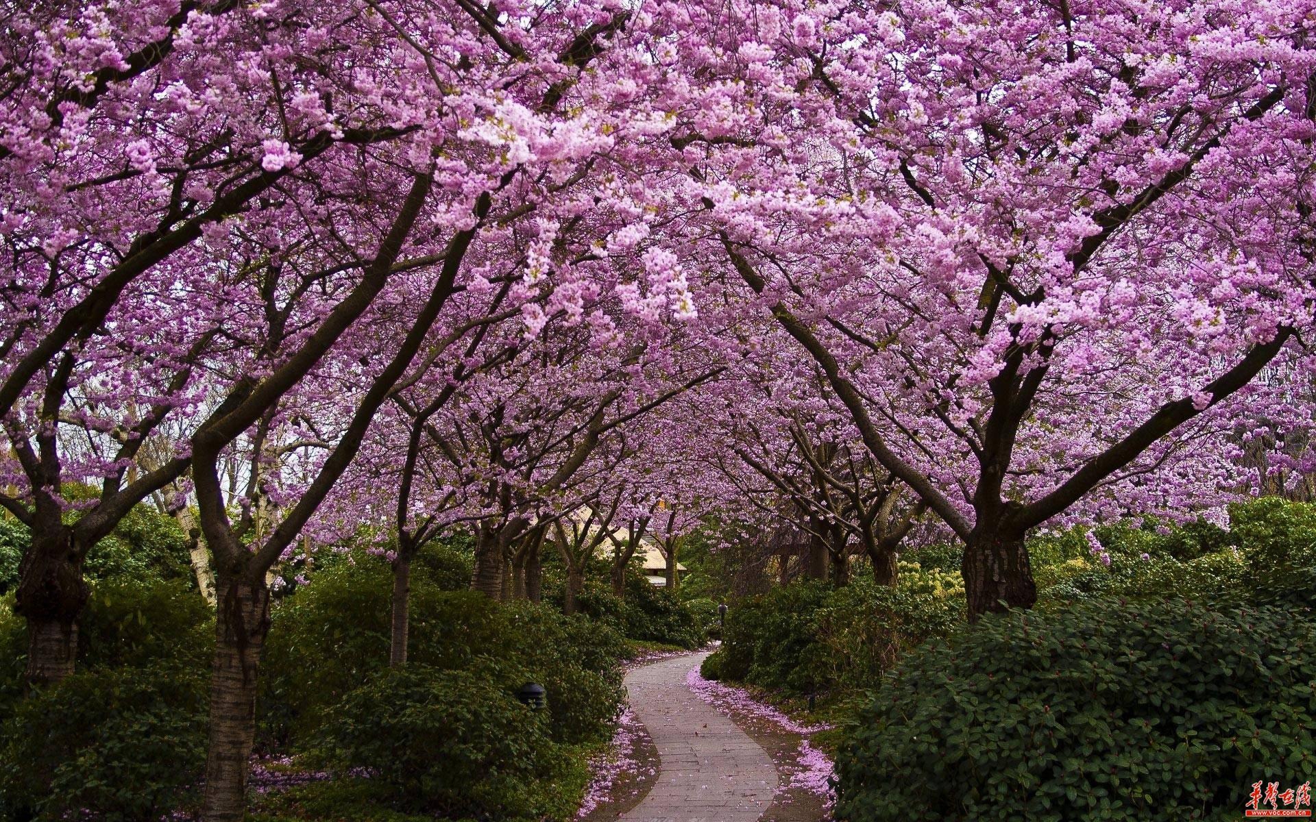 不用去富士山下 大湖南也有烂漫樱花任君赏