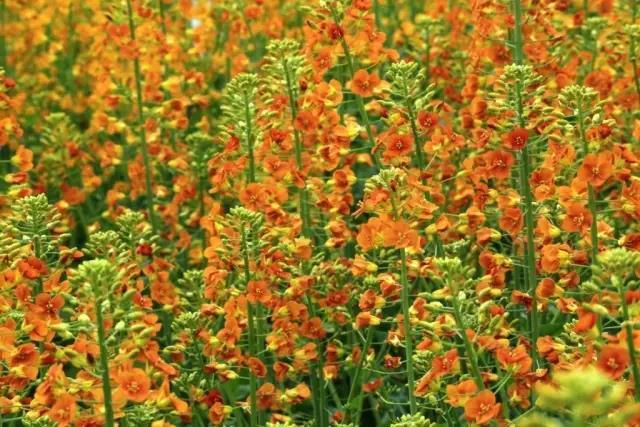 城头山:这里的油菜花能开出七种颜色