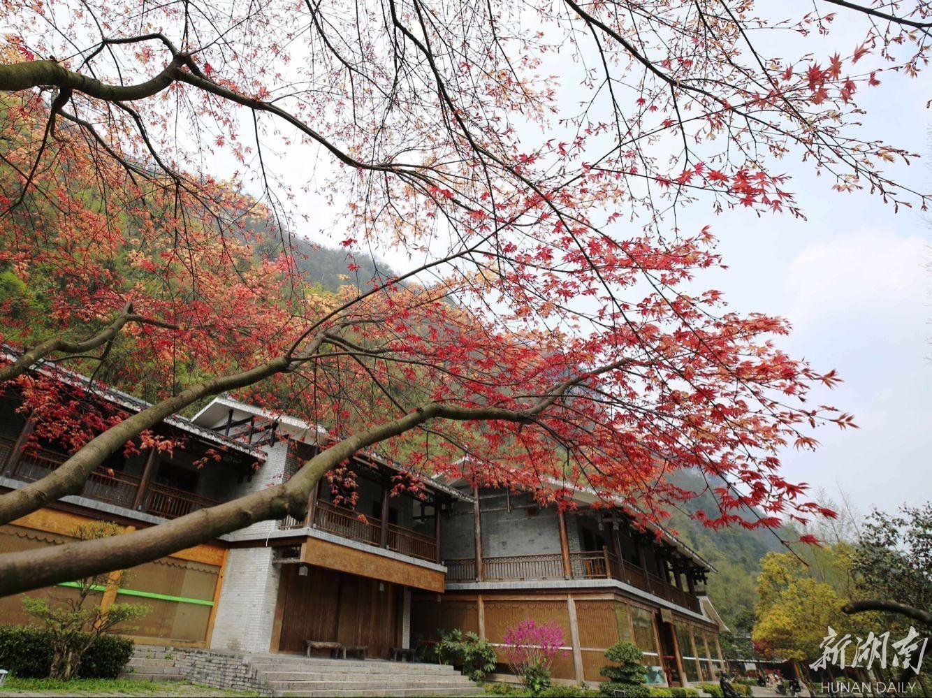 清明节前夕,黄龙洞风景区生态广场的枫树初展出的娇嫩枫叶红似火,点缀