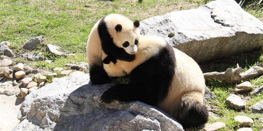 """马德里动物园的大熊猫""""竹莉娜""""首次与观众正式见面"""