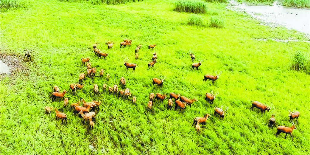 东洞庭:无人机首次监测到最大麋鹿群