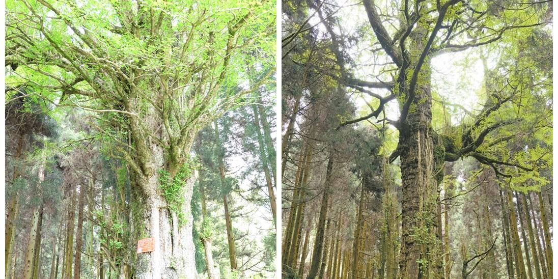"""""""夫妻""""相伴逾千年 郴州苏仙区发现两棵千年银杏"""