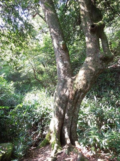 """魅力南岳丨无碍林:""""同根双木、摇钱树响"""