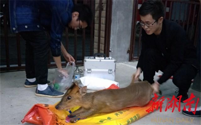 [常德] 野生小麂被夹断腿受伤 壶瓶山保护区连夜救助