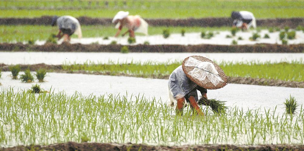 不误农时 湘西龙山县农民冒雨抢插水稻