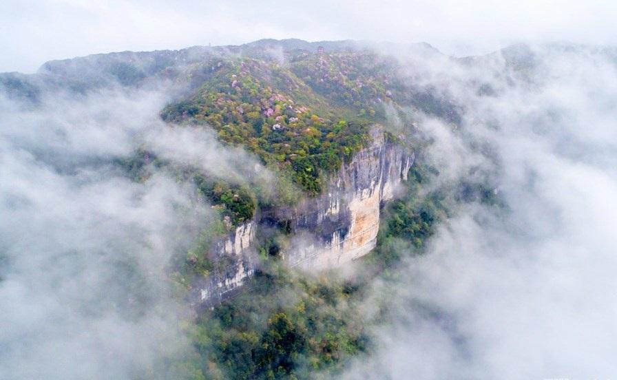 """图为航拍重庆金佛山云雾里的野生杜鹃,""""雾里看花""""的自然美景在此上演."""