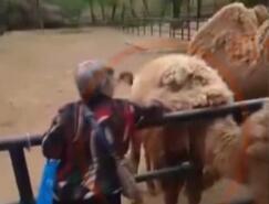 实拍:大妈逛动物园 猛薅骆驼毛