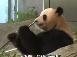 3只旅日大熊猫将回国找对象