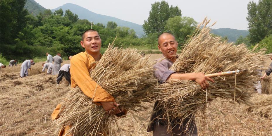 少林寺百亩小麦丰收 武僧忙收粮