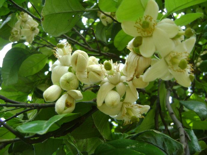 柚子树的花与果