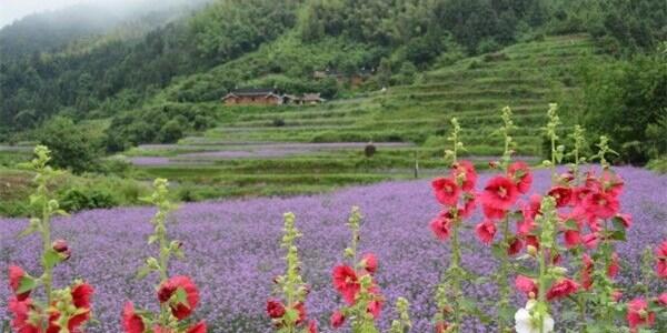 怀化市白马村:格桑花开脱贫路