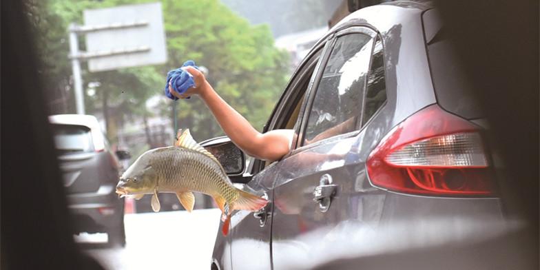 危险!司机将一只手伸出车窗外提鱼一手驾驶汽车