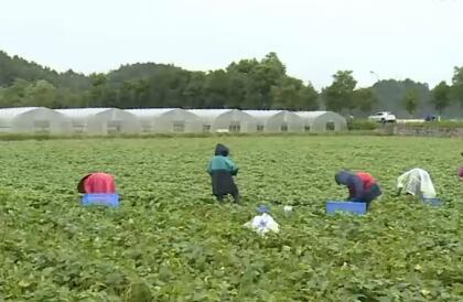 长沙县农业基地四成得到恢复