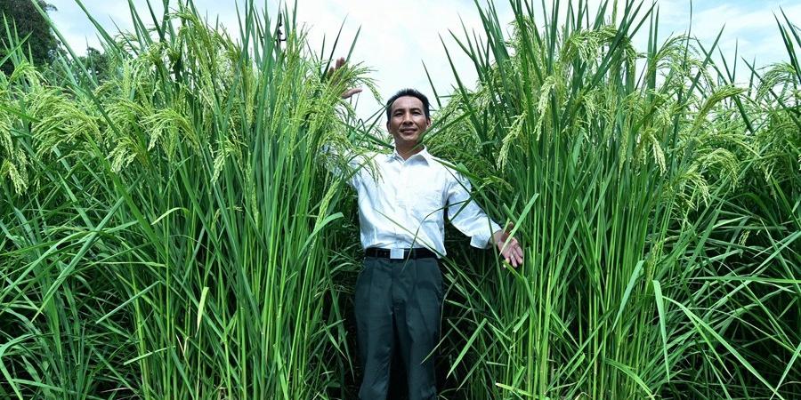 """湖南现2米高""""巨型稻"""" 产量高米质优"""