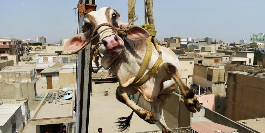 """牛在天上""""飞""""!巴基斯坦动用起重机运牲畜"""
