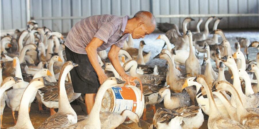 灰鹅养殖 助农增收