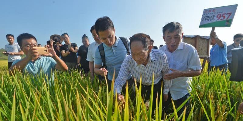 """湖南""""种三产四""""丰产工程中稻丰收在即"""