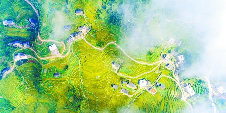 新化县紫鹊界8万余亩梯田水稻陆续成熟