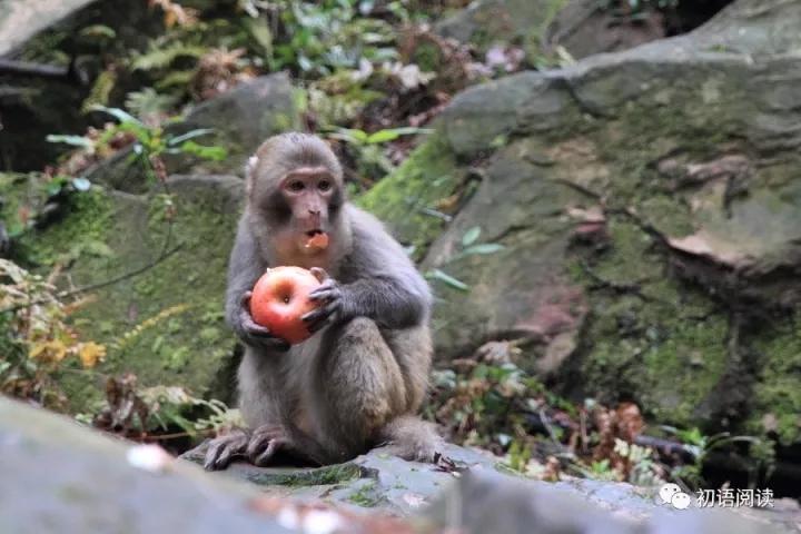 一只母猴子,背上背着一只小猴子,在金鞭溪裸露的石头上飞奔如箭.