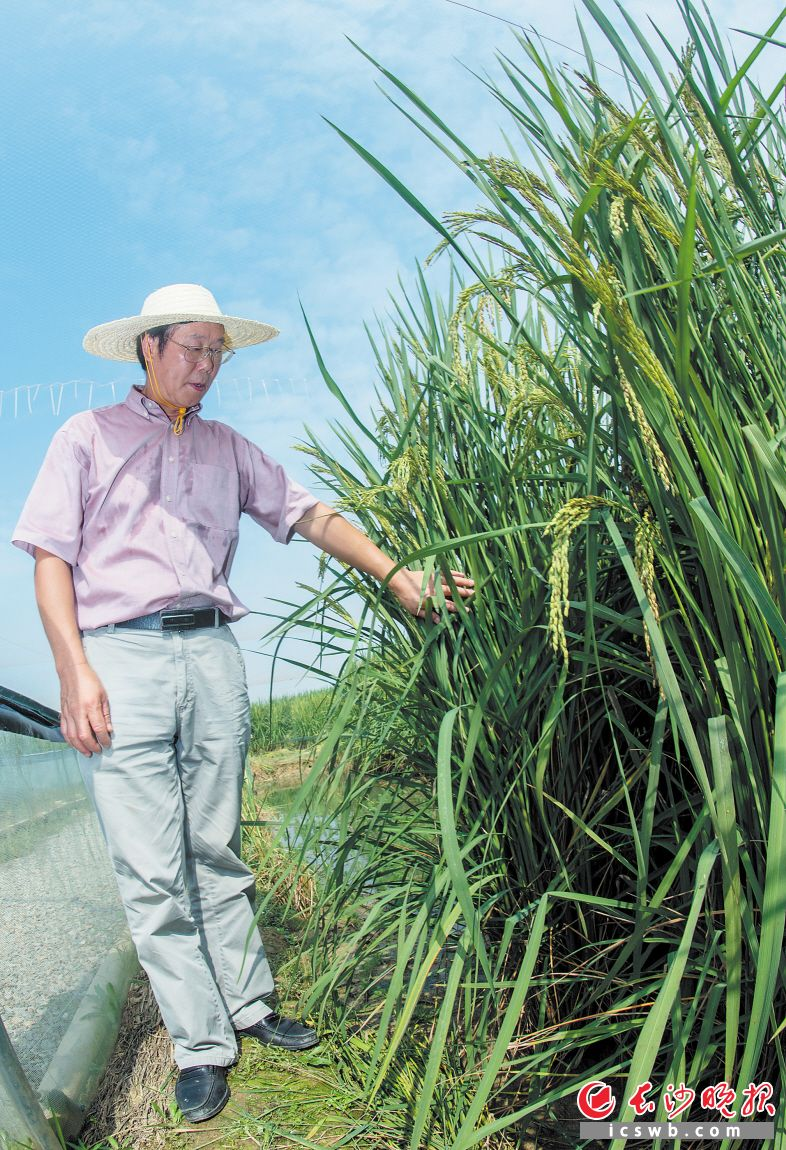 8米,最高达到2.25米.稻田里,泥鳅游,青蛙跳.