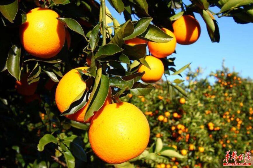 去橘子洲与黄澄澄的橘子合影