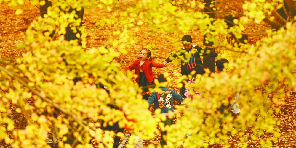 立冬时节 银杏金黄
