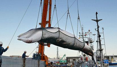 被全世界声讨 但为什么日本就是无法放弃鲸肉?