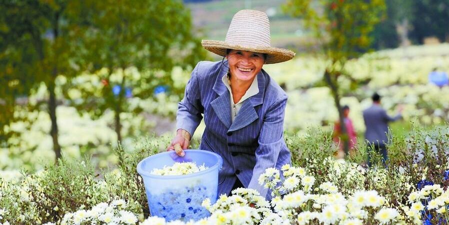 菊花产业助脱贫