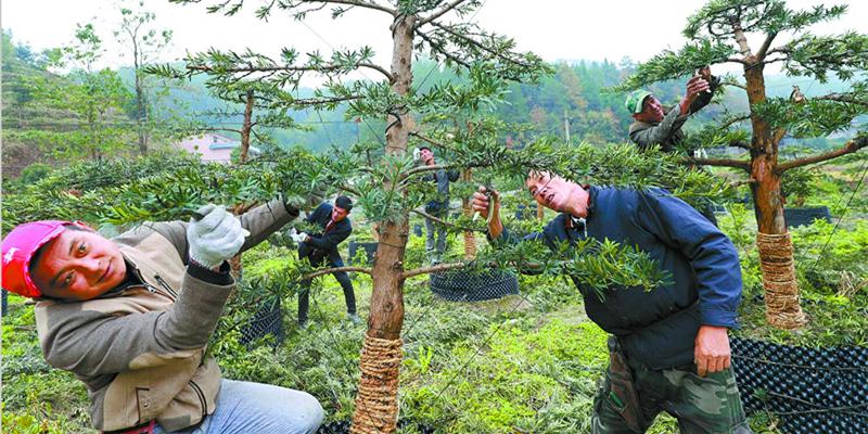 通道侗族自治县:花木种植 致富脱贫