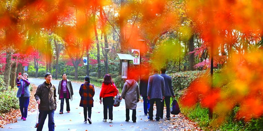 省森林植物园进入最佳赏枫时节