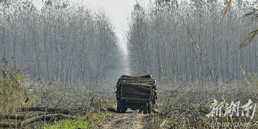 湖南:铲除欧美黑杨 恢复洞庭生态