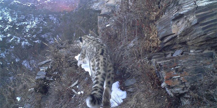 西藏昌都怒江河谷拍摄到健康雪豹种群