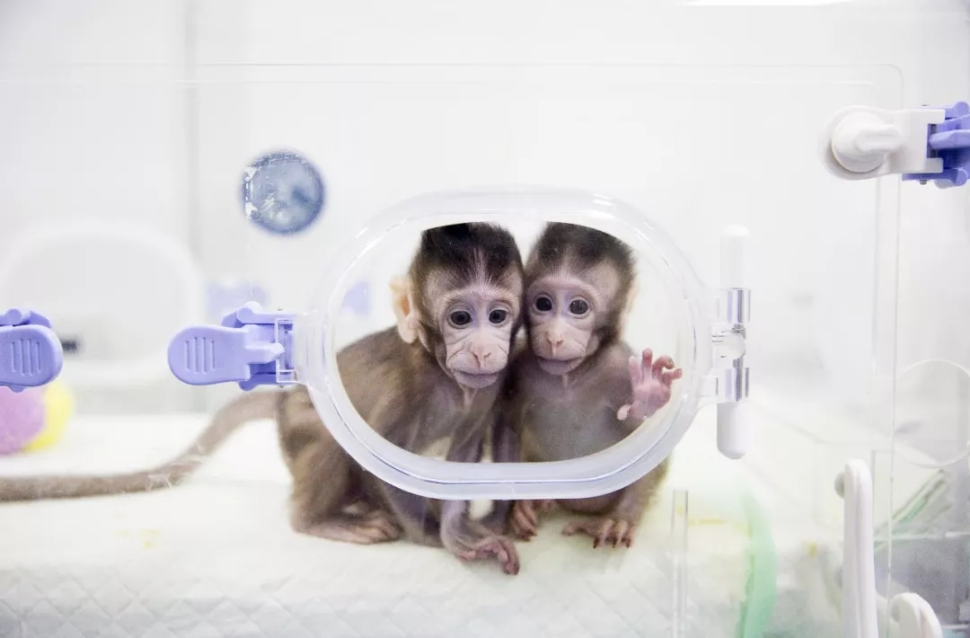 世界生命科学重大突破! 两只克隆猴在中国诞生 新湖南www.hunanabc.com