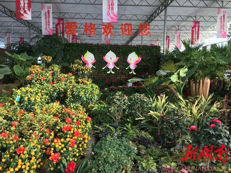 [长沙] 2018长沙(莲花)新春花市启动,近1000种鲜花等你来 新湖南www.hunanabc.com
