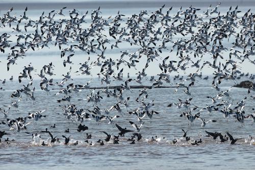 洞庭湖越冬水鸟同比增加23% 国家重点保护鸟类达1万余只