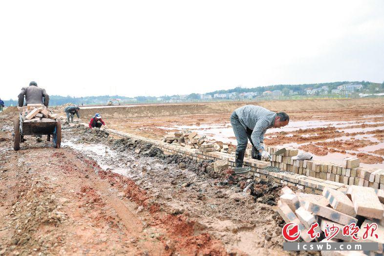 滩涂地经改造变成水田,村民正在砌水渠,今春就可以种水稻了。长沙晚报记者 颜开云 摄
