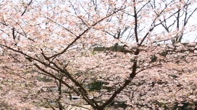 别人的学校 坐在教室就能赏最美樱花
