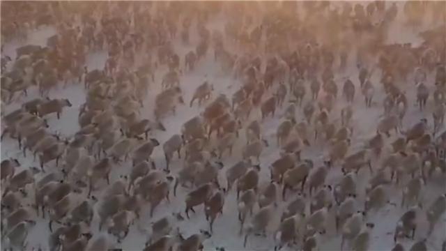 3000驯鹿冰天雪地大迁徙 法国摄影师拍下壮阔一幕