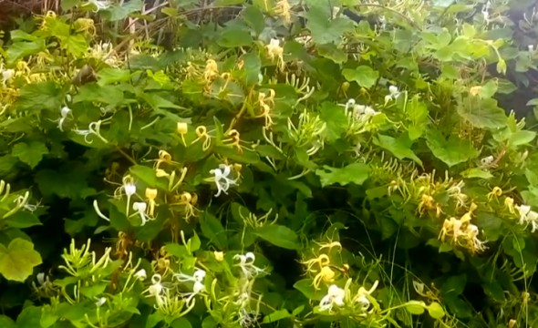 泸溪:山野金银花飘香