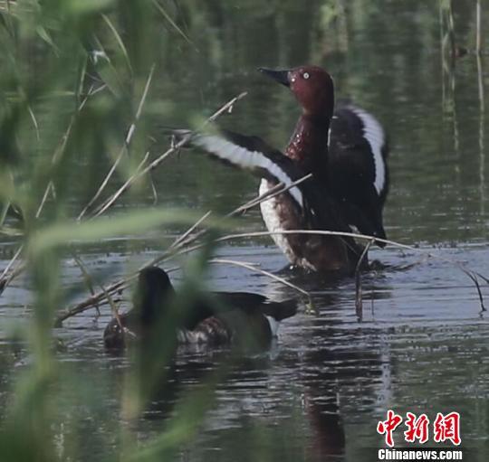 """三对极危鸟类青头潜鸭""""筑爱""""益阳南洞庭湖湿地 益阳湿地局提供"""