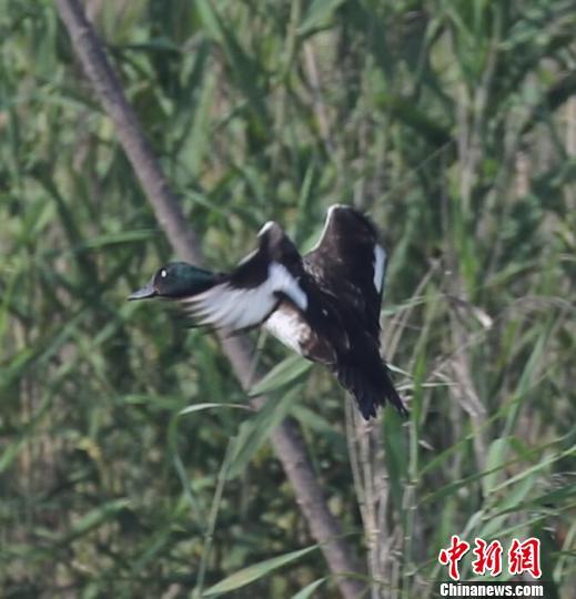 极危鸟类青头潜鸭 益阳湿地局提供
