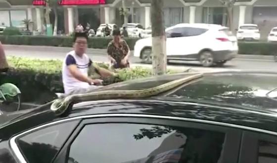 2米黑蛇趴车顶进城众人受惊
