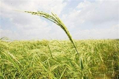 袁隆平团队迪拜沙漠种 海水稻 最高亩产超500公斤图片 22590 400x266