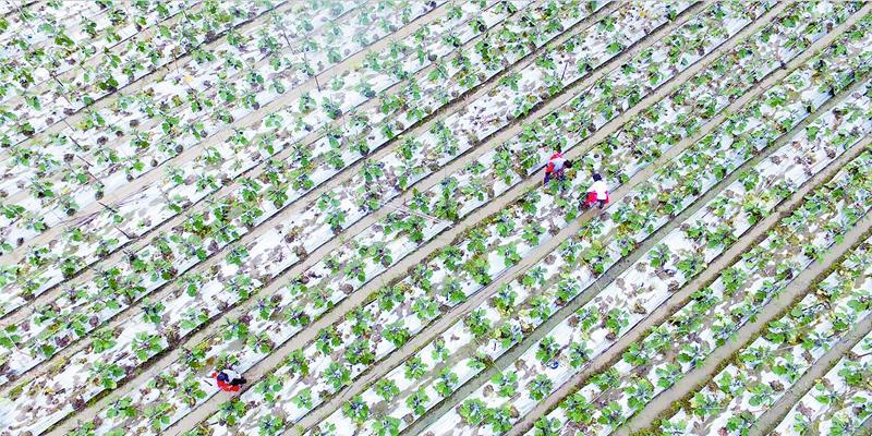 道县:蔬菜产业 助农增收