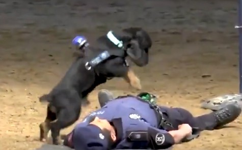 小警犬为警员做心脏复苏 这就是最棒的战友了