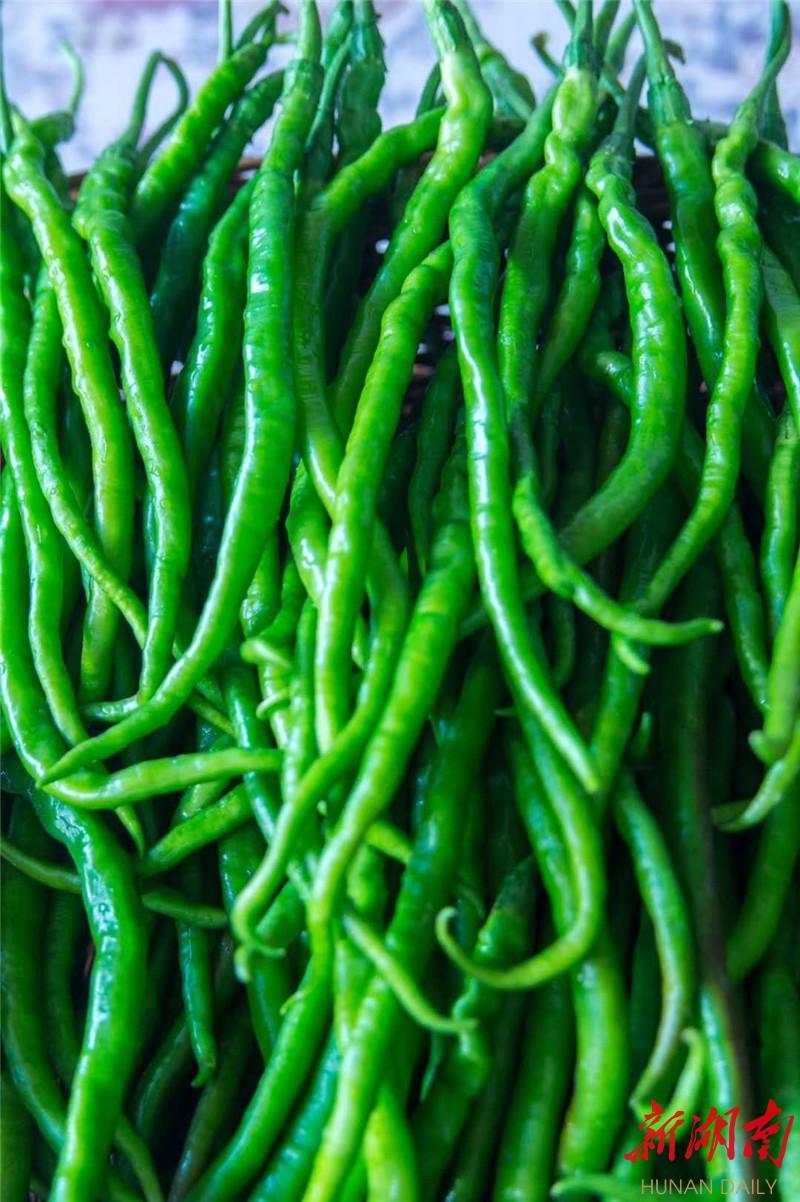 浏阳首个 国字号 蔬菜品牌 葛家鸡肠子辣椒上市销往长沙