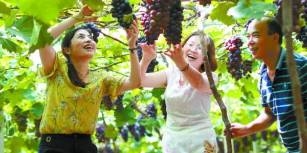 葡萄熟 采摘乐