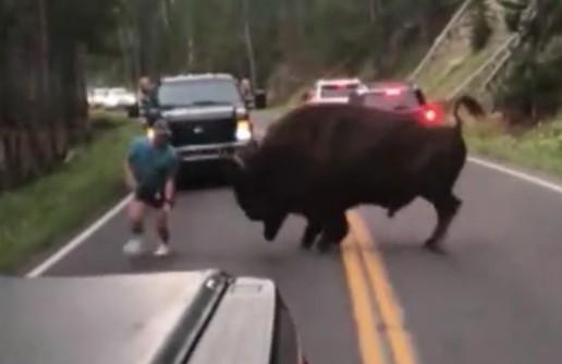 美国一男子黄石公园内公然挑衅野牛