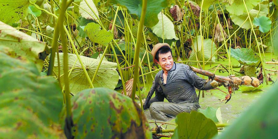 龙山百亩莲藕喜获丰收