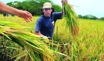 10多位专家13年接力推广 杂交水稻香飘马达加斯加